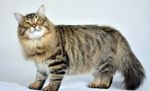 Sibirya Kedisi (Siberian cat)
