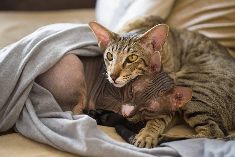 Kedimi Kısırlaştırmalı Mıyım?