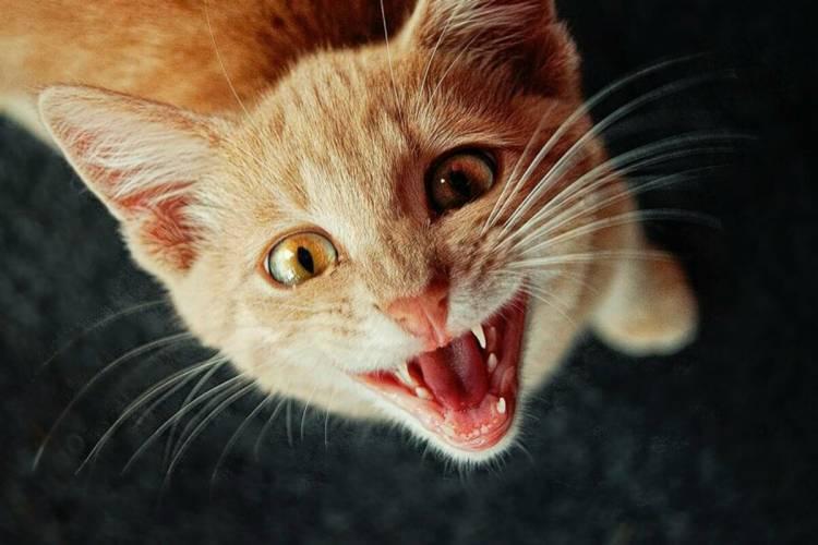 Kısırlaştırmadan Sonra Kediler Nasıl Davranır?