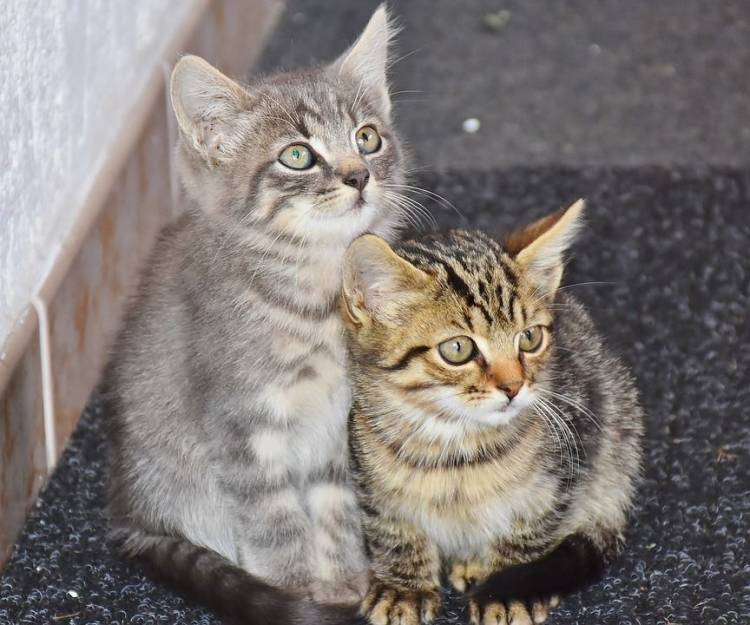 Kedi Sahiplenmek