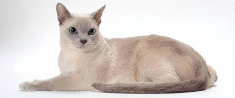 Tonkinese Kedisi Ve Özellikleri
