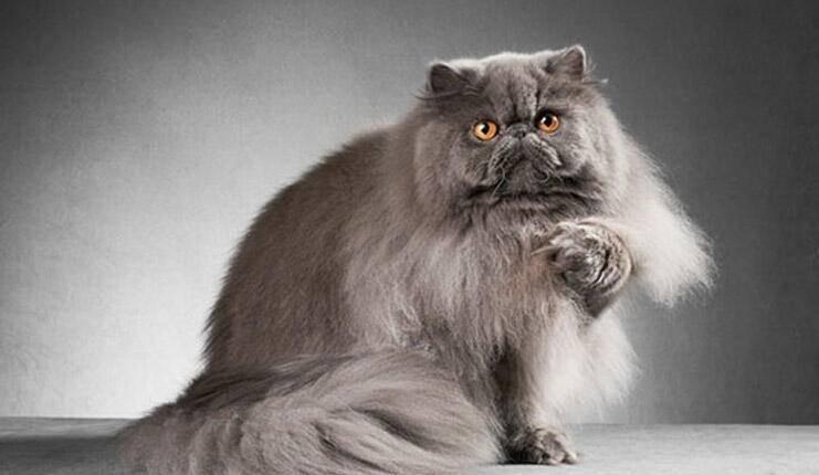 Fars kedisi (İran kedisi) Ve Özellikleri