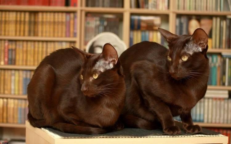 Havana kedisi  Ve Özellikleri