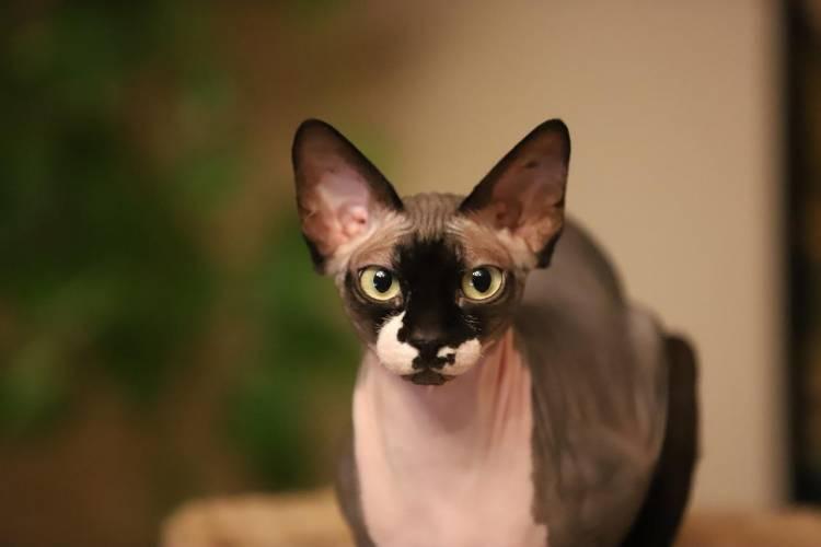 Peterbald kedisi  Ve Özellikleri