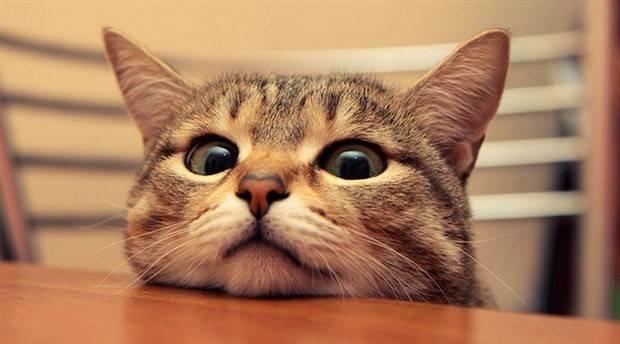 Kedilerin Dili