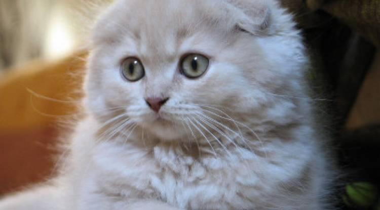 Scottish Fold kedisi  Ve Özellikleri