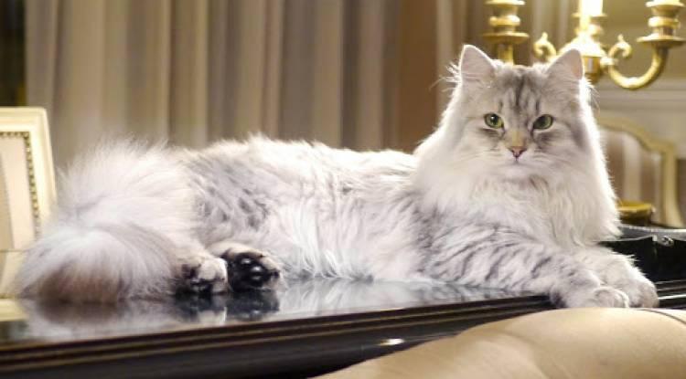 Sibirya Kedisi Ve Özellikleri