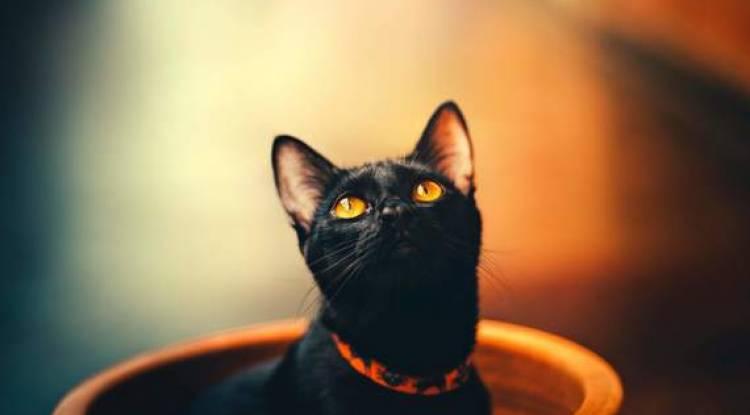 Bombay Kedisi  Ve Özellikleri