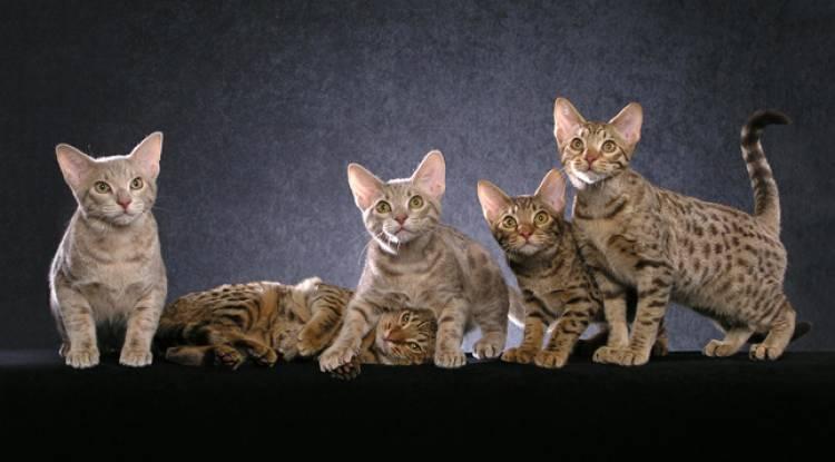 Ocicat  Kedisi Ve Özellikleri ( Minik Leopar  :)