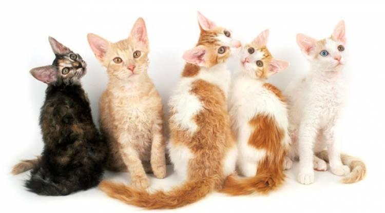 Laperm Kedisi Ve Özellikleri