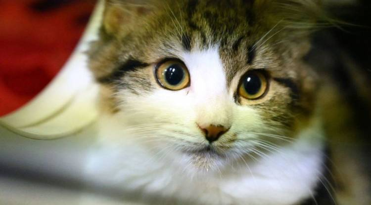 Kedi Kulak Temizliği Nasıl Yapılmalıdır, Dikkat Edilmesi Gerekenler