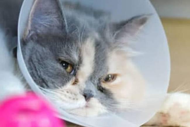 Kedileri Kısırlaştırdıktan Sonra Nelere Dikkat Edilmeli?