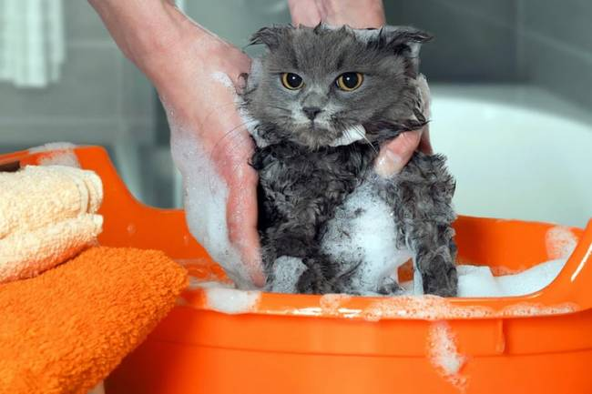 Yeni Doğmuş Kediler Ne Zaman Yıkanabilir?
