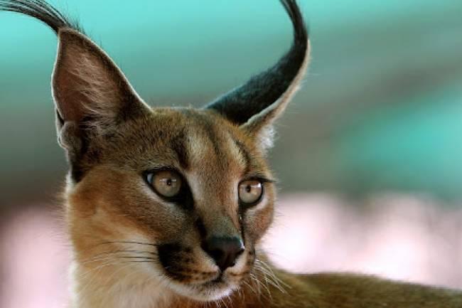 Vahşi Karakulak Kedisi Ve Özellikleri