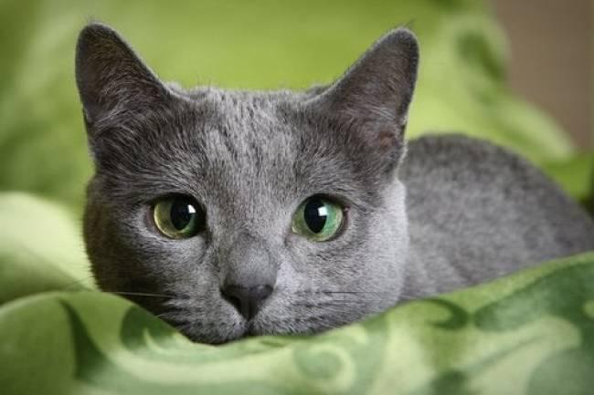 Mavi Rus kedisi  Ve Özellikleri