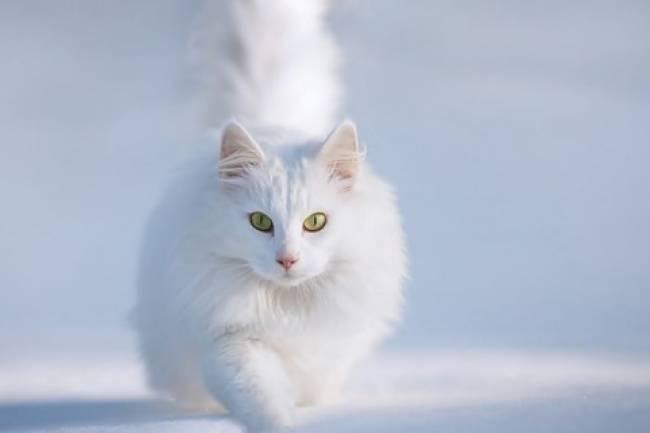 Ankara kedisi  Ve Özellikleri
