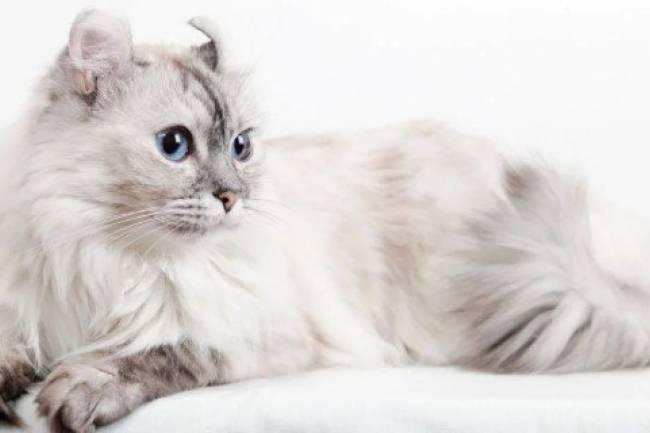 American Curl Kedisi  Ve Özellikleri