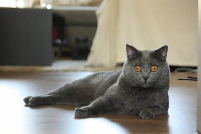 Chartreux Kedisi  Ve Özellikleri