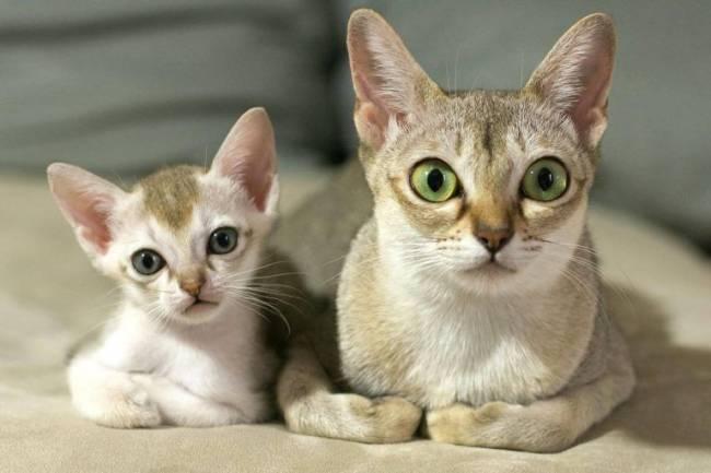 Singapura Kedisi ve Özellikleri