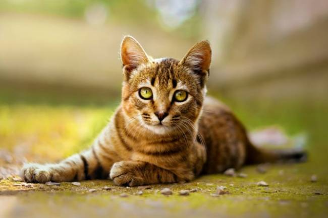 Toyger Kedisi Ve Özellikleri