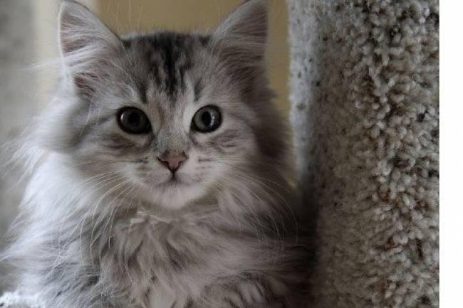 Cymric kedisi ve Özellikleri