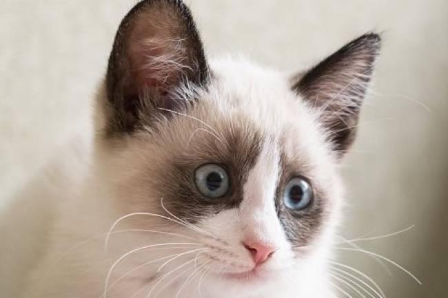 Karayak kedisi  (Snowshoe cat)  kedisi ve Özellikleri