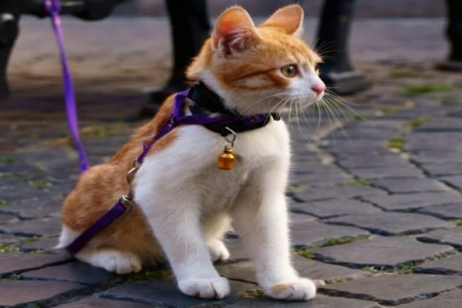 Evcil  Kedileri Yürüyüşe Çıkabilir Mi?