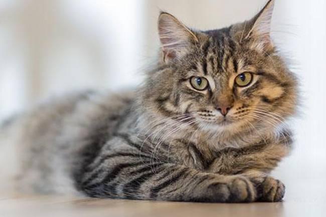 Kedilerin Dili Neden Tırtıklıdır