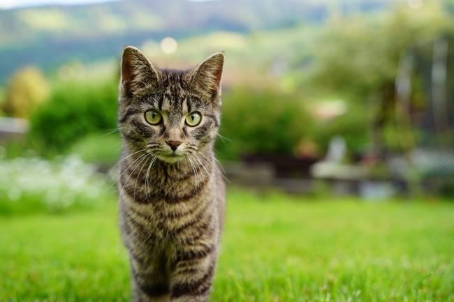 Kedilerde Astım Belirtileri ve Tedavileri