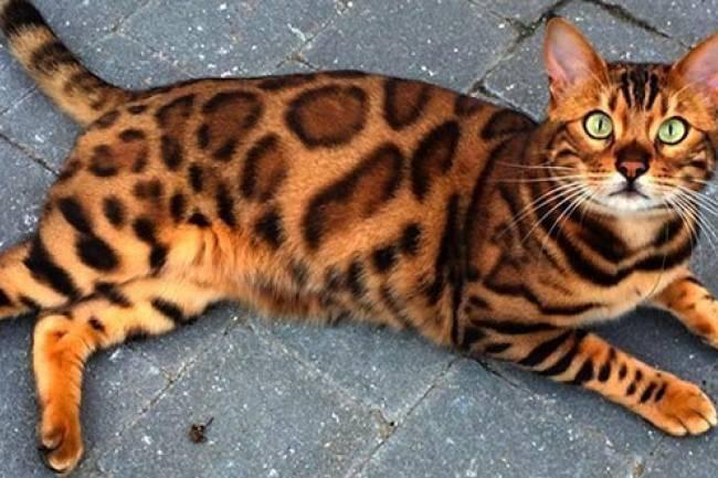 Bengal kedisi  Ve Özellikleri